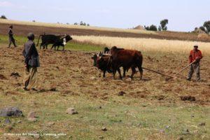 Als in de tijd van de bijbel wordt de landbouwgrond in Ethiopië bewerkt met een houten ossenploeg