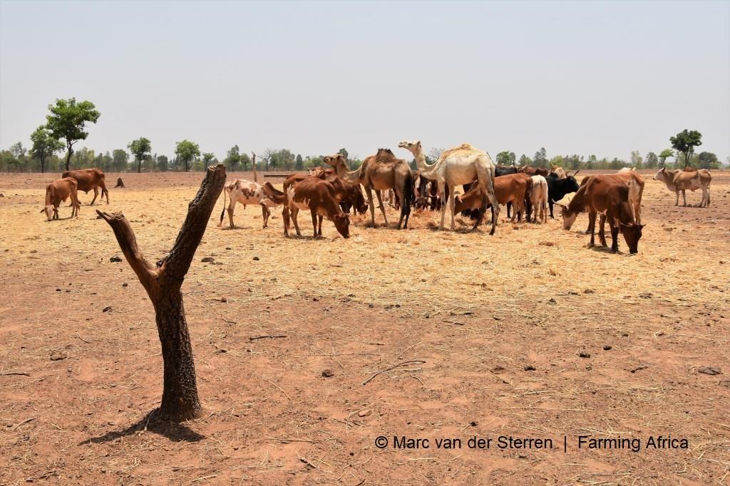 Boeren in het noorden van Mali kunnen met hun melk nergens naartoe